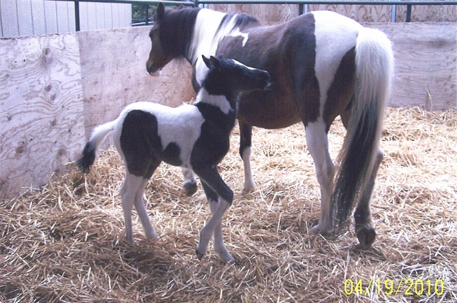 Ice Cream Sundae Mare and her foal. Sire Black Gold.