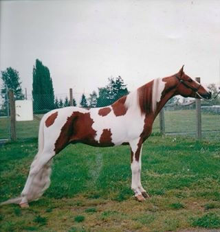 Stormy of Chincoteague<br>Colt born on the CPA Farm<br>Bellingham, WA